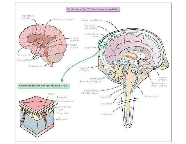 Meninges And Cerebrospinal Fluid