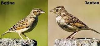 Burung Branjangan - Ciri Ciri Burung Branjangan Jantan dan Betina