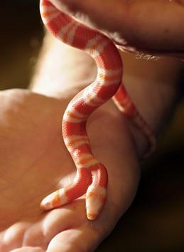 Amazing World Amazing Two Headed Albino Milk Snake