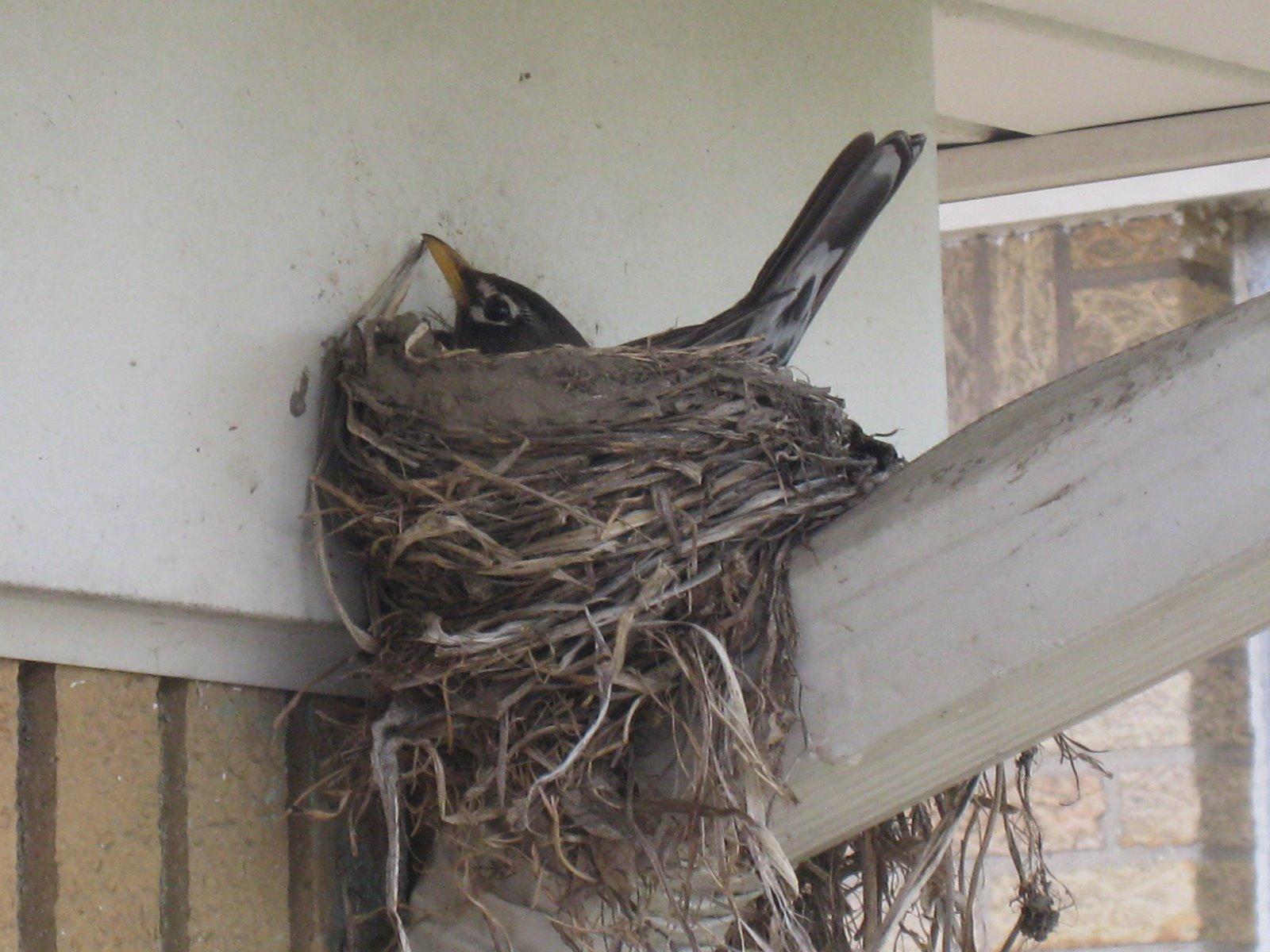 inkspired musings robins nesting