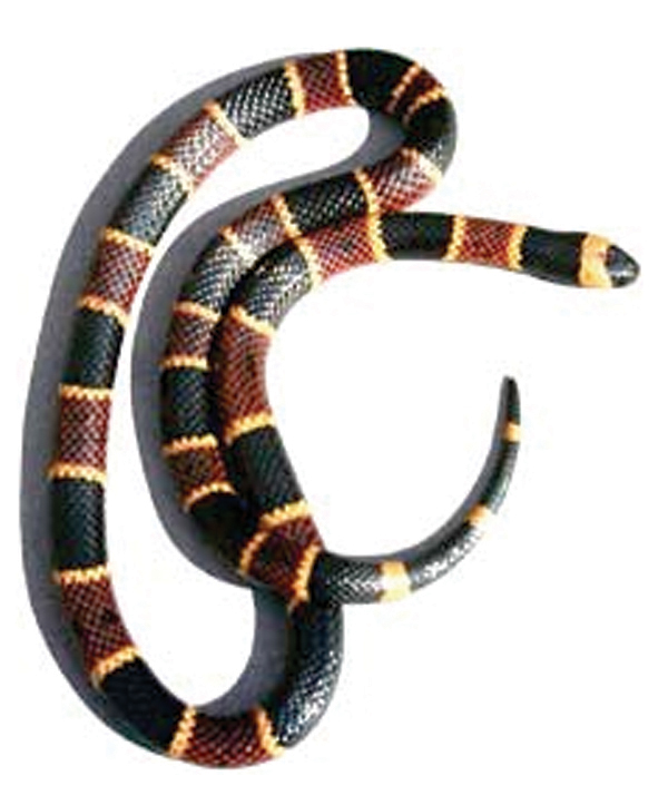 Venomous Snakes Of Florida Phillips Natural World