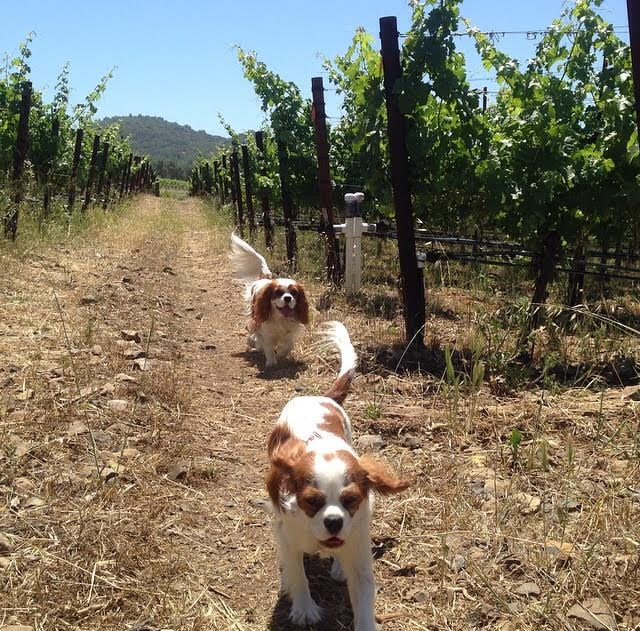 Blenheim Cavalier King Charles Spaniels running through Sonoma, California vineyard