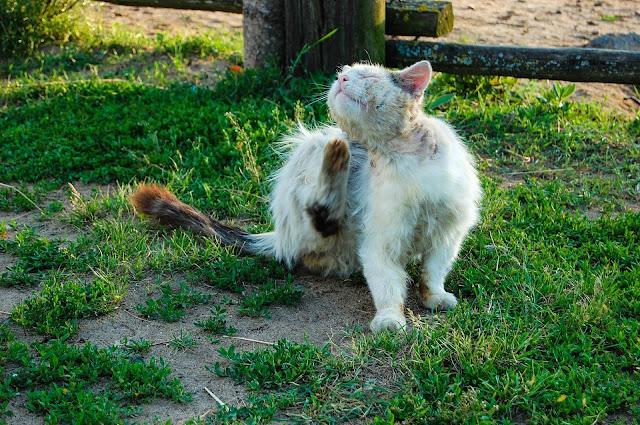 كيفية القضاء على براغيث القطط