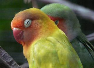 Cara Membuat dan Memasang Asinan Sotong Untuk Lovebird