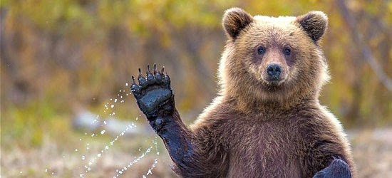 Coisas proibidas nos EUA - Acordar um Urso para tirar fotos