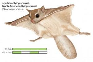 cara merawat Tupai Terbang (Sugar Glider)