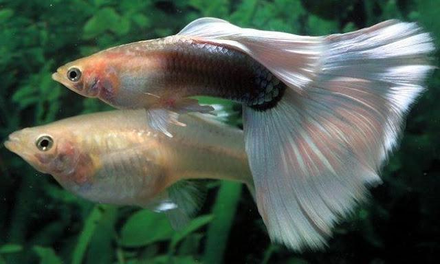 Budidaya Ikan Guppy - Budidaya Ikan