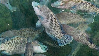 Cara mengenali Ikan Napoleon Dewasa