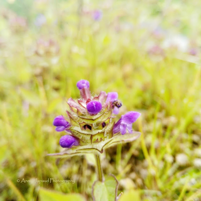 selfheal flower, purple flower
