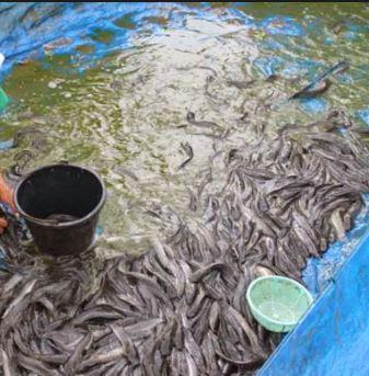 Analisis Usaha Budidaya Ternak Ikan Lele 1000 Ekor Menguntungkan Website Hewan