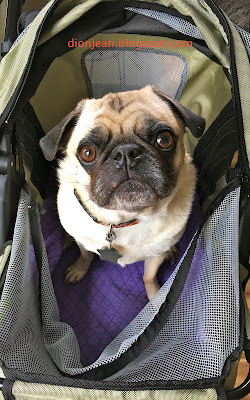 Liam the pug in his stroller