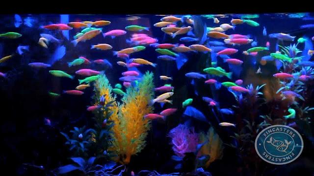 GloFish (Danio rerio)