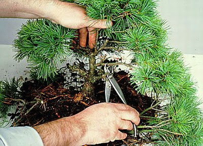 How to Prune a Bonsai Tree