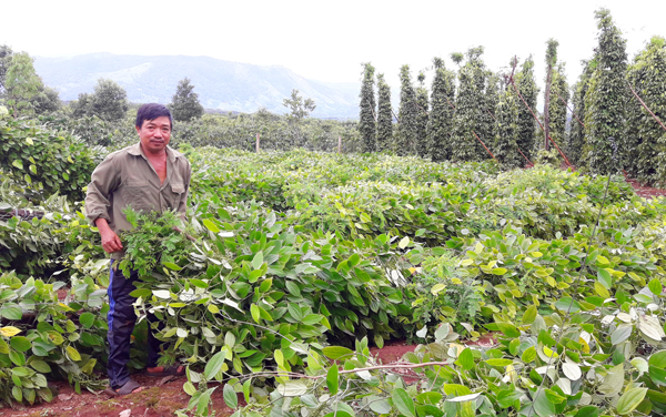Gia Lai: Hậu bão số 10, dân trồng tiêu khóc ròng vì mất tiền tỷ