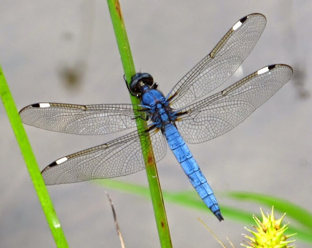 The Joyce Road Neighborhood: Dragonfly - Spangled Skimmer - photo#32