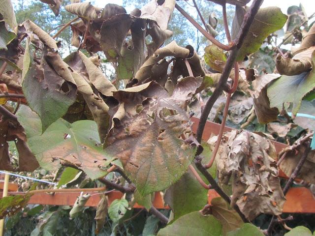 Perdita Foglie Kiwi dopo la Prima Gelata