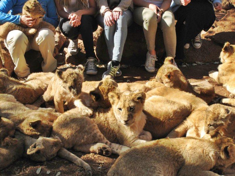 Muitas crias de leão aos pés de um grupo de turistas. Um dos filhotes está ao colo de um turista.