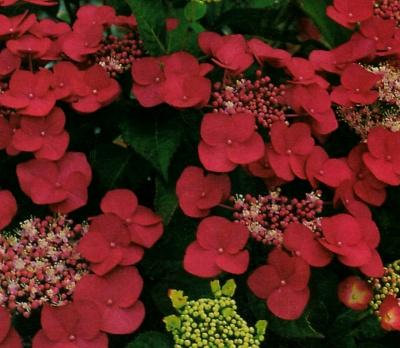 Piante e fiori ortensia da giardino - Piante ornamentali da giardino ...