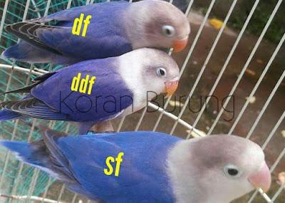 perbedaan warna lovebird biru cobalt biru mangsi violet