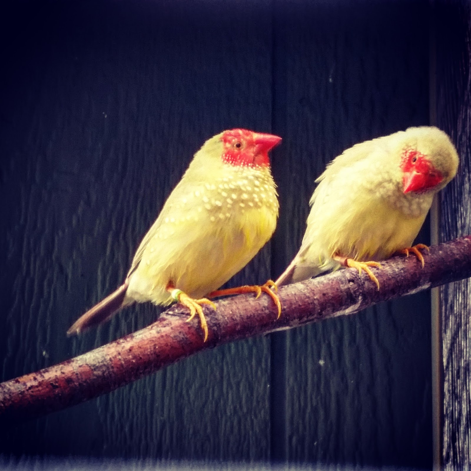 Yellow Star Finch Happy Bird Plac...