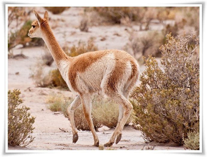 animals that start with v animals names starting with v animals name a to z 21002 | Vicuna%2BAnimal%2BPictures