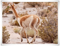 Vicuna Animal Pictures