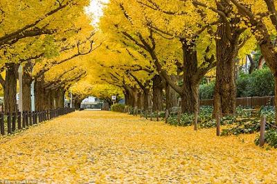 Hàng cây bạch quả đẹp nhơ mơ ở Nhật Bản