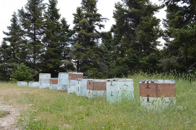 Χειροτέρευσε πολύ η κατάσταση στα Έλατα. Τα μελίσσια τρώνε μανιωδώς το μέλι τους...