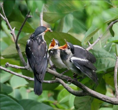 Gambar Burung Jalak Suren Gacor