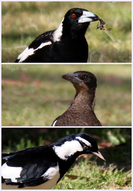 Magpie Clan