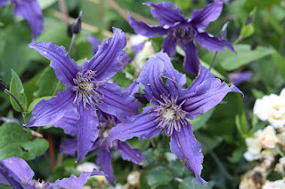 'Sapphire Indigo' clematis: the best clematis you've never heard of