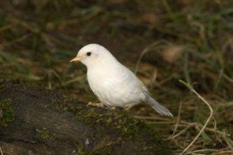 Dunnock   A-Z List of 125 Rare Albino Animals [Pics]