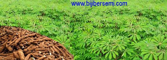 cara menanam singkong | www.bijibersemi.com