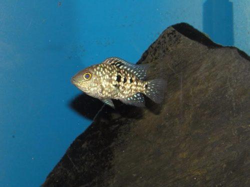 Herichthys Carpintis 3cm