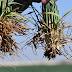 Dryland wheat crop hanging on; root development is key