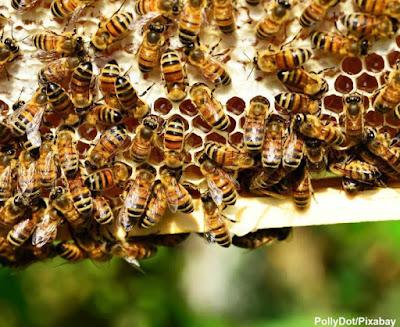 abelha, abelha europeia, apis mellifera, apicultura, favo de mel, abelha-alemã, abelha-comum, abelha-da-europa, abelha-de-mel, abelha-doméstica, abelha-do-reino, abelha-escura, oropa, colmeia, colmeia de abelhas, abelhas produtoras de mel, flores, néctar, meio ambiente, pesticidas, agrotóxico, mortes de abelhas, extinção