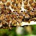 Abelha europeia (Apis mellifera), fotos, vídeo e curiosidades