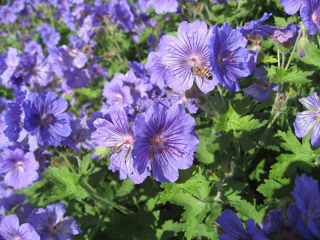 geranium og insekt - Gøteborg botaniske hage