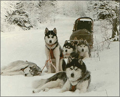Manada de siberian husky en la nieve para tiro de trineo
