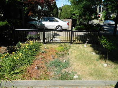 Mount Pleasant West garden renovation removing lawn before Paul Jung Gardening Services Toronto