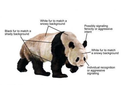 kenapa panda warna hitam dan putih