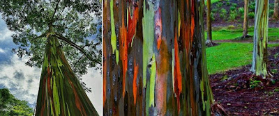 Multi-Colored Bark
