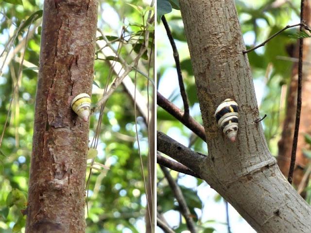 lumache alberi pinelands