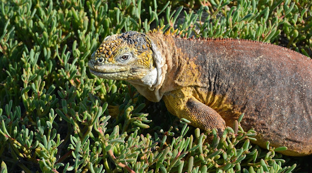 South Plaza Island land iguana