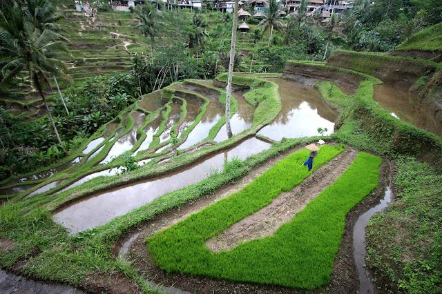 Terrasses en cascade à Tegalalang