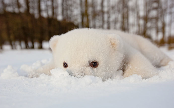 polar bear baby lie like that to the snow