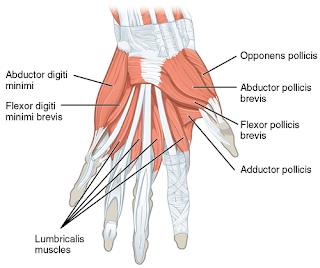 Daftar Otot Berdasarkan Fungsi Area di Jari Tangan dan Jempol