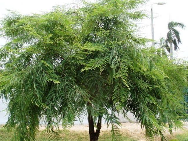 Cây Me Rừng - Phyllantus emblica - Nguyên liệu làm thuốc Chữa Cảm Sốt