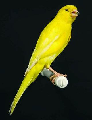 Download Mp3 Gratis Suara Kenari Juara : download, gratis, suara, kenari, juara, Guplong:, [DOWNLOAD], Suara, Burung, Kenari, Juara, Gacor