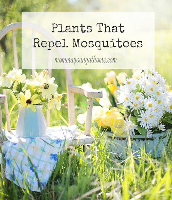 Plants That Repel Mosquitoes in Your Yard and Garden